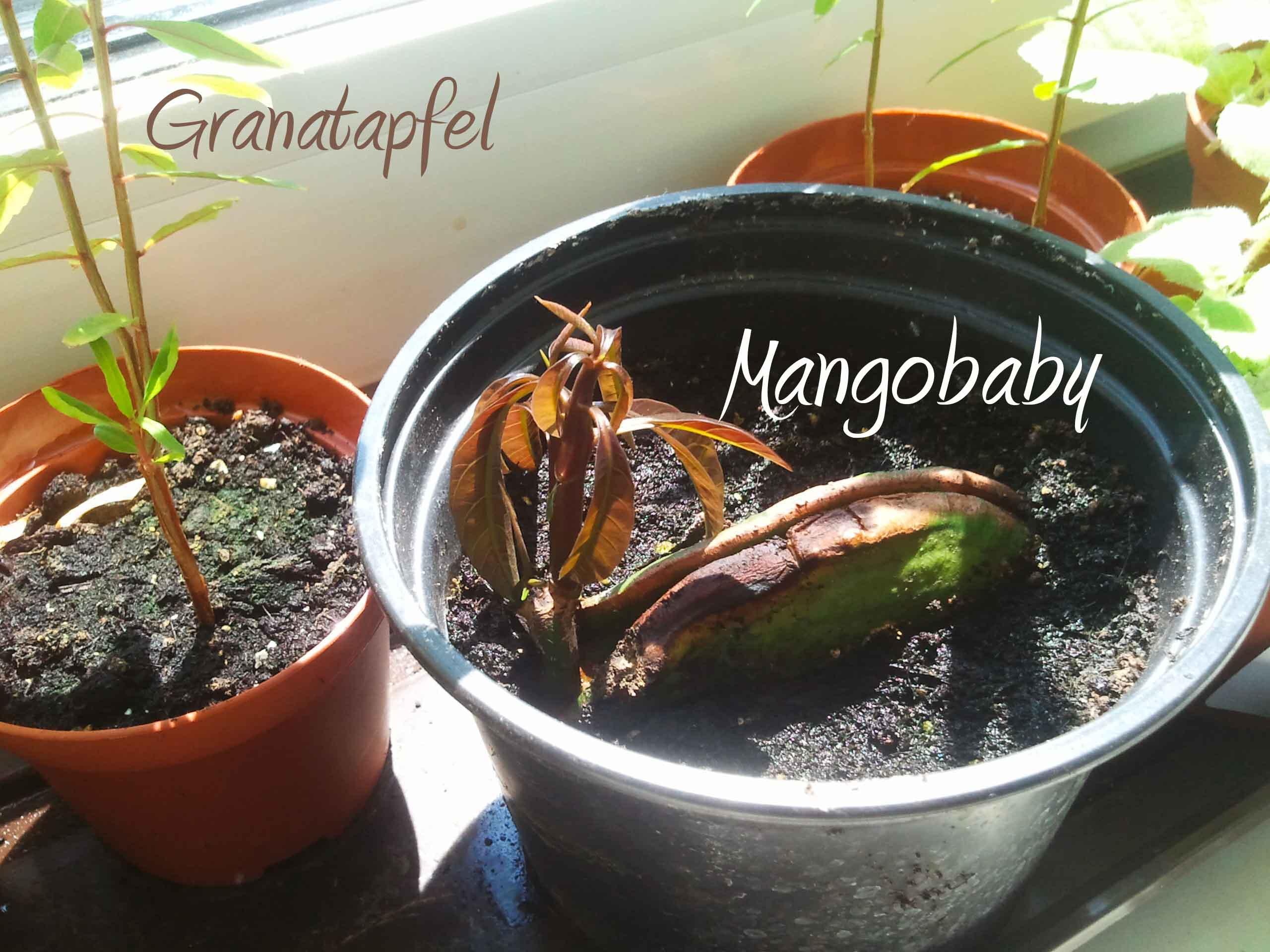 versuch nr 2 mango granatapfel litschi und dattel selber ziehen das versuchskaninchen. Black Bedroom Furniture Sets. Home Design Ideas